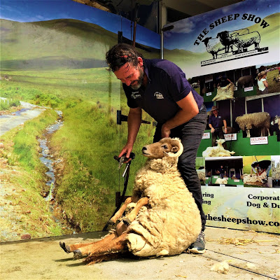 Man shearing sheep